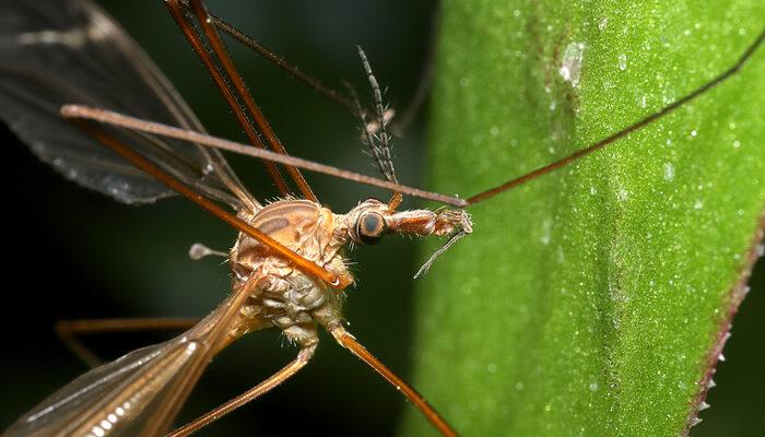 Dev sivrisinek sürüsü yüzlerce at ve ineği telef etti!